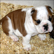 Bulldog puppy for adoption