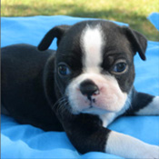 This little girl is a pretty little Boston Terrier