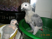 well breeding baby african grey parrots for sale