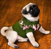 lovely pug puppy for good homes