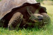 Brown beautiful African tortoise