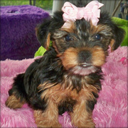 FANTASTIC YORKSHIRE TERRIER PUPPIES FOR YOU
