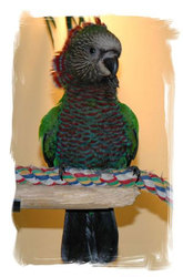 Hawk head parrot for free adoption