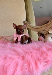 Teacup Chihuahua Princess for adoption