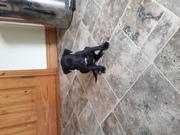 Lurcher  X bull pups