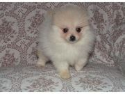 Cutest Pomeranian Puppies for Caring home