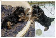 Affectionate Teacup Yorkie Puppies For Free Offer