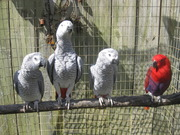 TALKING PARROTS FROM DOMESTIC BREEDERS AND EGGS.