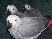 Beautiful baby African Grey parrots available for sale