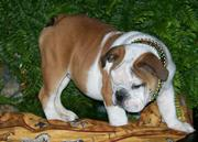 Playful English Bulldog Puppies For Sale