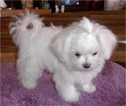 Excited maltese puppies for caring homes