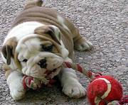 ADORABLE BULLDOG PUPPY WANTS A NEW HOME